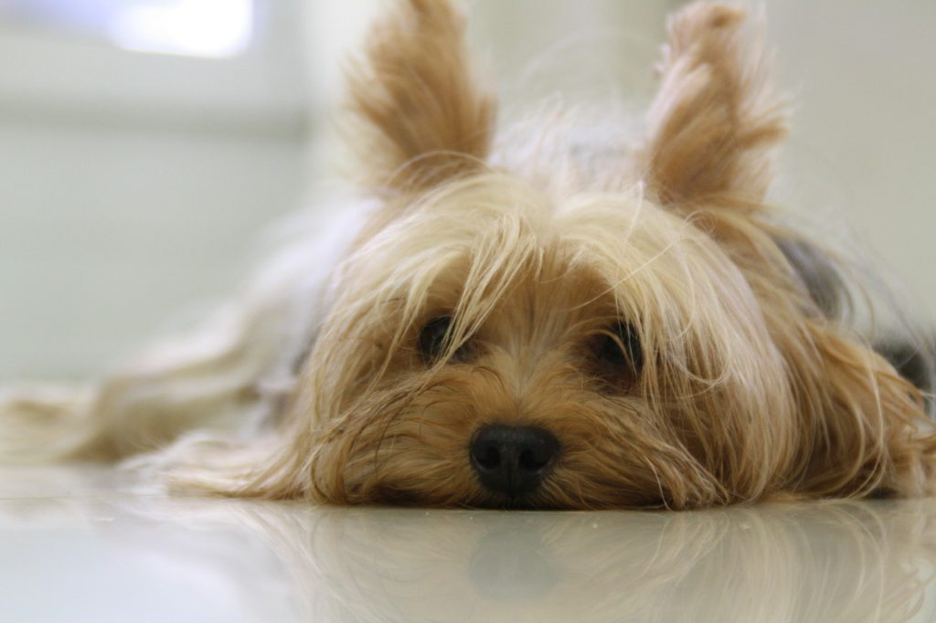 yorkie with long hair