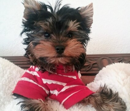 yorkie health issues