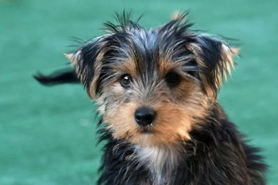 What does a yorkie look like?