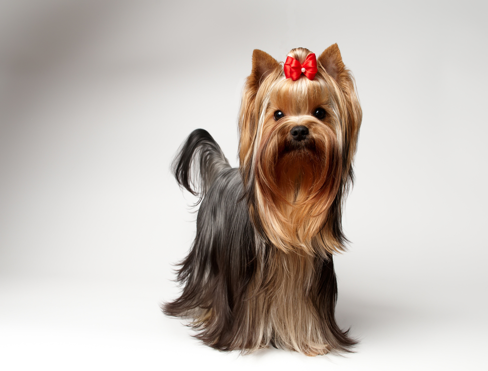 long hair yorkie