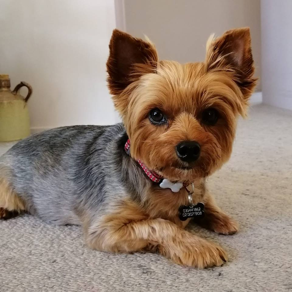 yorkie health issues and problems