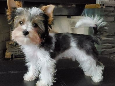 Legg-Perthes disease yorkie health issues and problems