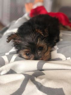 Luxating Patella yorkie health issues and problems