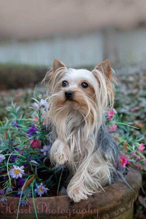 Yorkie Grooming , How Often to Bathe A Yorkie? , Yorkie