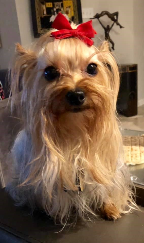 Yorkie Care Learn To For Your