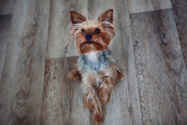 Yorkie Care Learn To Care For Your Yorkie Here Yorkie Advice