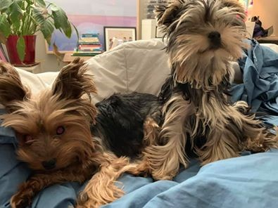 Retinal Dysplasia yorkie health issues and problems