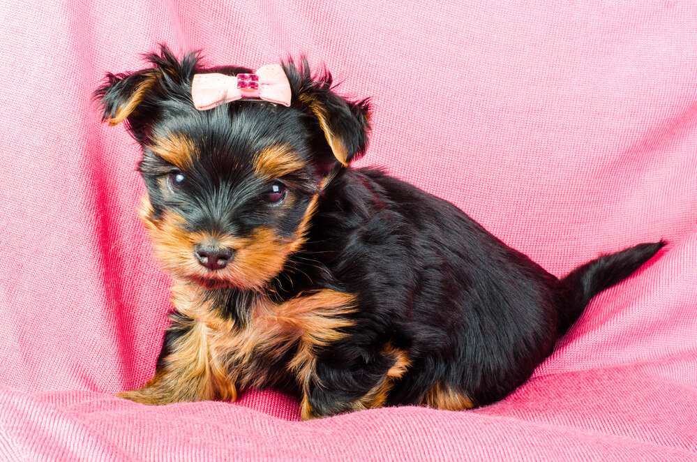 New Yorkie Puppy Care - How Much Are Yorkie Puppies