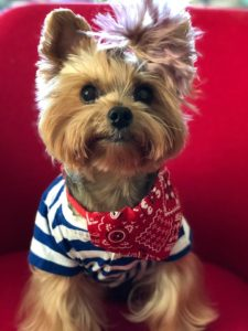 Dudley The Rock & Roll Yorkie