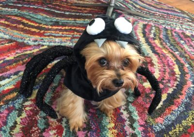 Dudley the Yorkie as a Spider
