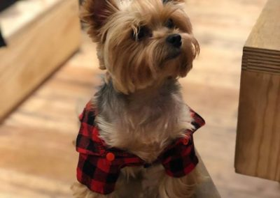Dudley the Yorkie in Flannel