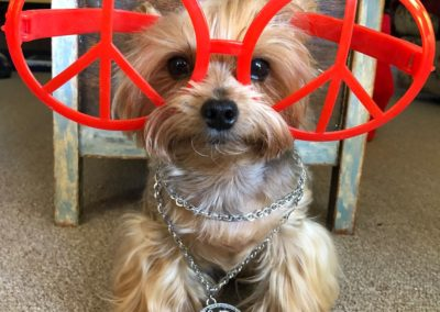 Dudley the Yorkie in Peace Glasses