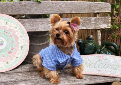 Dudley the Yorkie in a blue button up