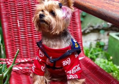 Dudley the Yorkie on a chair