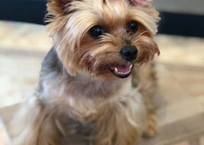 Dudley the Yorkie with Pink Hair