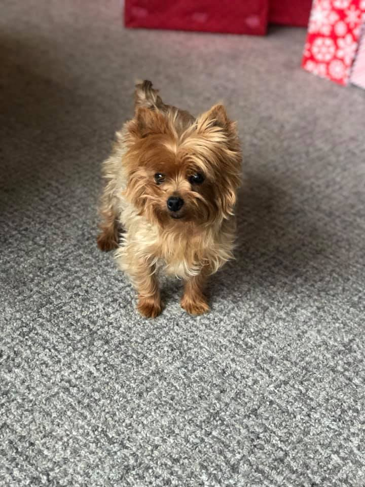 Yorkie with docked tail