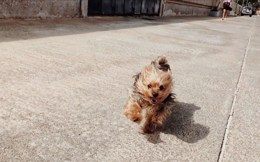Feeding, Exercise, and Care for Yorkie Dogs
