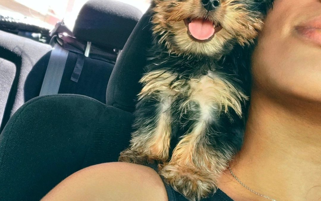 In-Depth Yorkie Car Riding Guide: How to Train Your Dog For the Perfect Rides